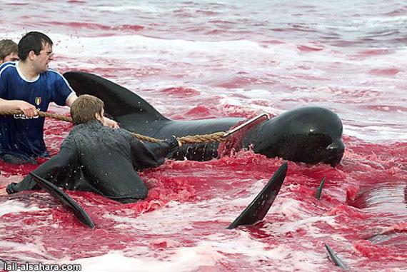 killing_dolphins_in_denmark7